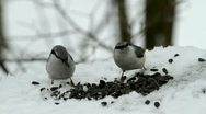 Stock Video Footage of two nuthatches
