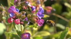 Hairy footed flower bee visiting pulmonaria flowers. Slow motion. Stock Footage
