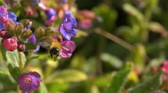 Bee pollenating pulmonaria flowers. Slow motion. Stock Footage