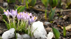 Crocus blooming in spring with a bee Stock Footage