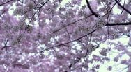 Cherry Blossoms Canopy Dolly Stock Footage