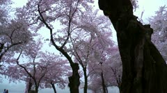 Cherry Blossoms Forward Dolly - stock footage