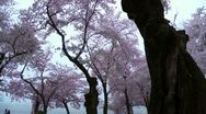Cherry Blossoms Forward Dolly Stock Footage