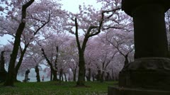Cherry Blossoms Right to Left Dolly - stock footage