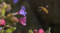 Major bee-fly (Bombylius major) visiting pulmonaria flower, slow motion Stock Footage