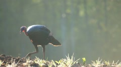 Turkey Jake Feeding Stock Footage
