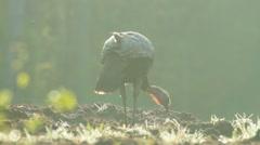 Wild Turkey Sunrise Stock Footage