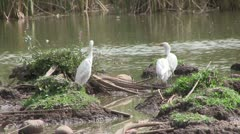 Cattle Egrets in wetlands in The Gambia Stock Footage