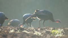 Wild Turkeys Feeding Stock Footage