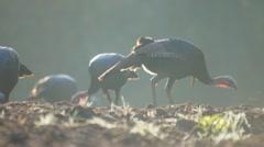 Wild Turkeys Feeding - stock footage