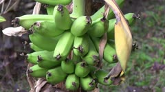 Banana plantation in The Gambia. Stock Footage