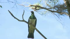 New Zealand Pigeon Stock Footage