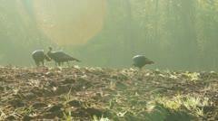 Wild Turkey Sunrise - stock footage