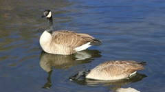 Two geese swim in a river Close Shot Stock Footage