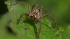 Male Pisaura mirabilis spider, head on.  Prey's view Stock Footage