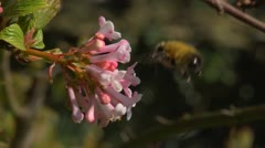 Hairy footed flower bee visiting Spring blossom. Slow motion. Stock Footage