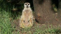 Alert meerkat - stock footage