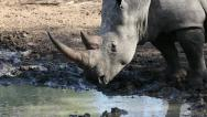 White rhinoceros drinking water, safari, South Africa Stock Footage