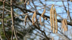 Nutwood catkins in the spring Stock Footage