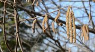 Stock Video Footage of nutwood catkins in the spring
