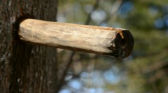 Wooden spigot with maple sap drops Stock Footage
