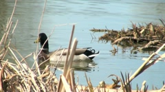 Male Mallard Duck Swimming Out From Reeds Stock Footage