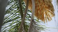 Bees Pollinating Palm Tree Blossom Stock Footage