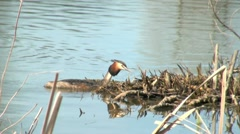 Great Crested Grebe Swimming Towards Reed Bed Stock Footage