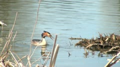 Great Crested Grebes By Nesting Site Stock Footage