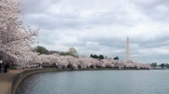 Strolling under Blossoms of Japanese Cherry Trees, DC Stock Footage
