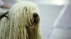 Owner pats dog of komondor breed with curls Stock Footage