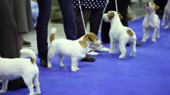 Few dogs of Parson Russell terrier breed stand on leashes at contest Stock Footage