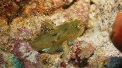 Leaf Scorpionfish unique marine life Stock Footage