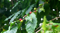 Coffee tree with beans Stock Footage