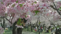 Cherry Blossoms, Washington, DC, pink and welcoming. Stock Footage