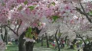 Stock Video Footage of Cherry Blossoms, Washington, DC, pink and welcoming.