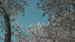 Petals begin to fall, DC Cherry Blossoms Stock Footage