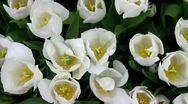 Stock Video Footage of White tulip closeup