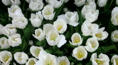 White tulip flower bed Stock Footage