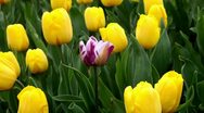 Stock Video Footage of One purple tulip among all yellow tulips field