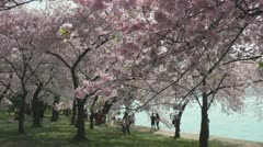Under pink Cherry Blossoms, Washington, DC Stock Footage