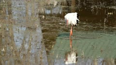 white stork - stock footage