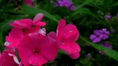 Petunia Stock Footage