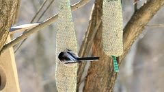 Long-tailed Tit Stock Footage