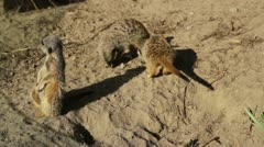 Meerkats playing - stock footage