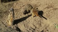 Stock Video Footage of Meerkats playing