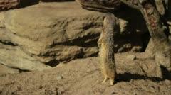 Meerkat looks around Stock Footage