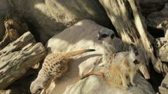 Meerkats looks around Stock Footage