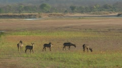 River Dry with waterbuck Stock Footage