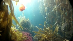 KELP FOREST - stock footage